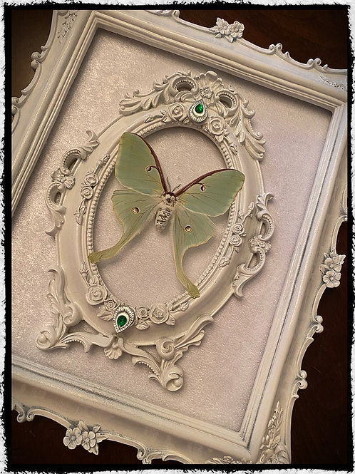 Preserved Luna Moth in a Medium Double Frame