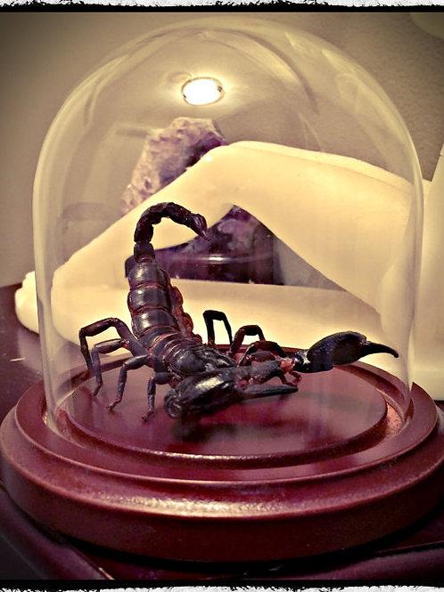 """Preserved Scorpion """"Attack Pose"""" in glass Dome"""