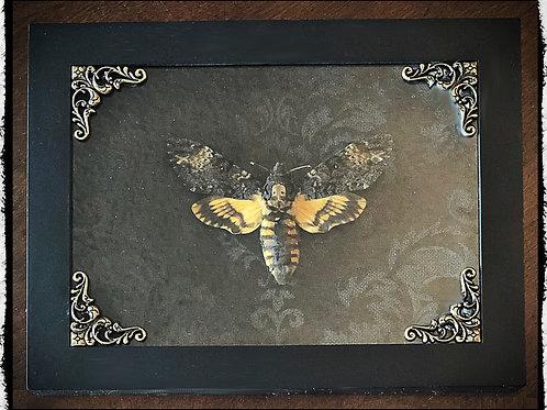 Preserved Death Head Moth in Shadowbox Frame