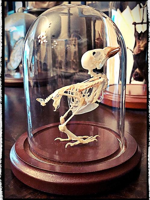 Preserved Bird Skeleton in a Dome