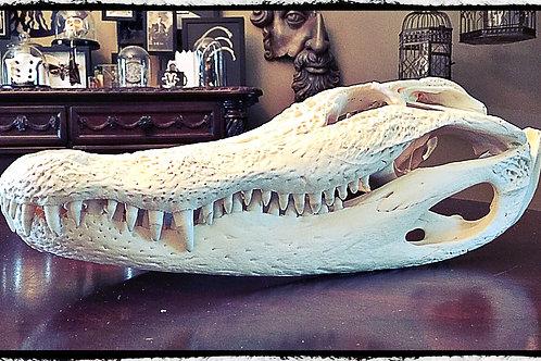 Large Alligator Skull -  from a ten foot gator