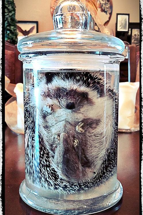 Adult Preserved Large Hedgehog in jar