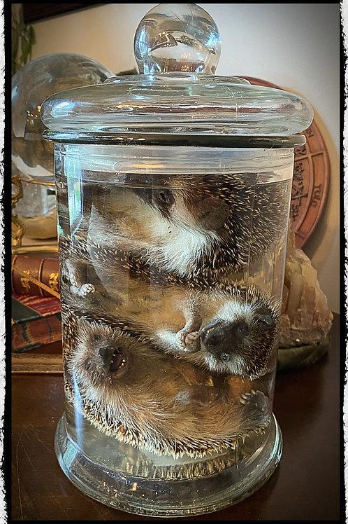 Three Preserved Adult Hedgehogs in Large jar