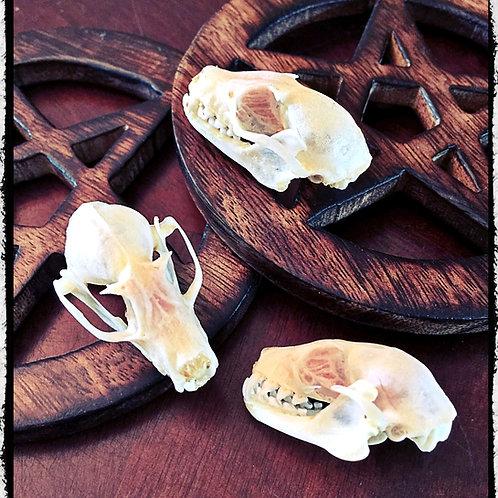 Small Bat Skull - Rousettus Leschenaulti