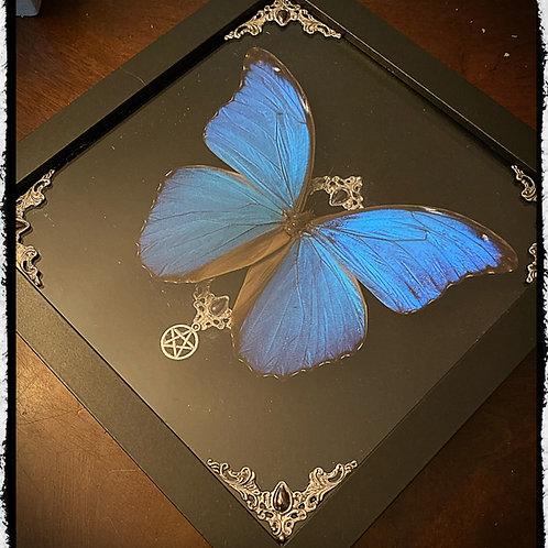 Preserved Blue Morpho framed Art Piece