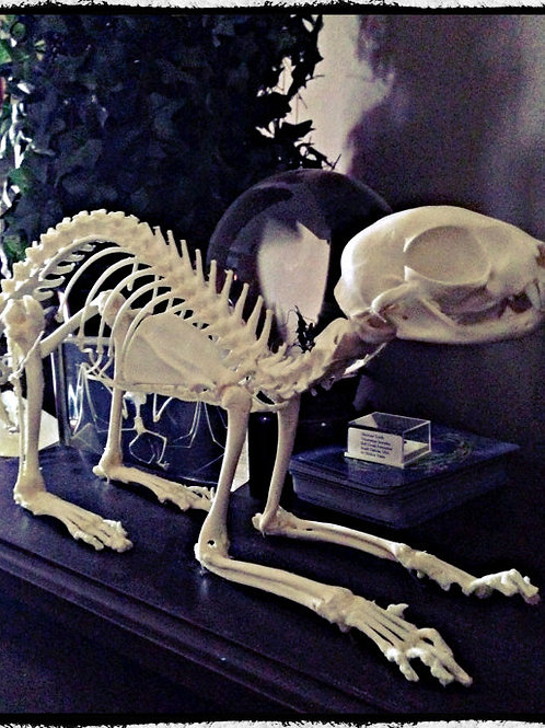 Articulated Cat Skeleton