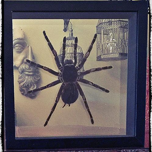 Goliath Stripe Leg Tarantula - In Clear Glass Frame