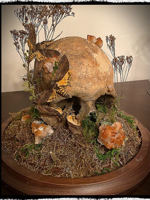 Antique Human Skull Display - With death head moths