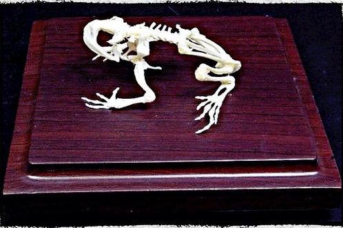 Articulated bullfrog skeleton