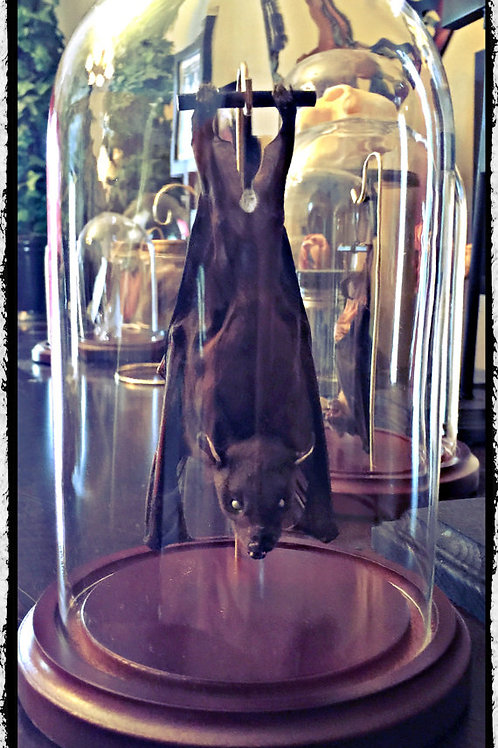 Ready to Fly Position - Hanging Bat In a Glass Dome