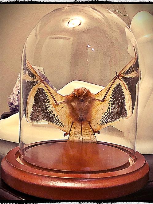 Open Winged Bat Under Dome - Kerivoula picta