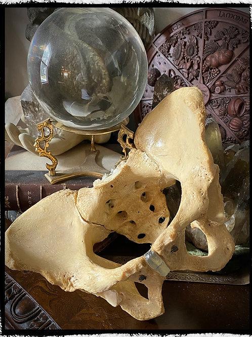 Complete human pelvis