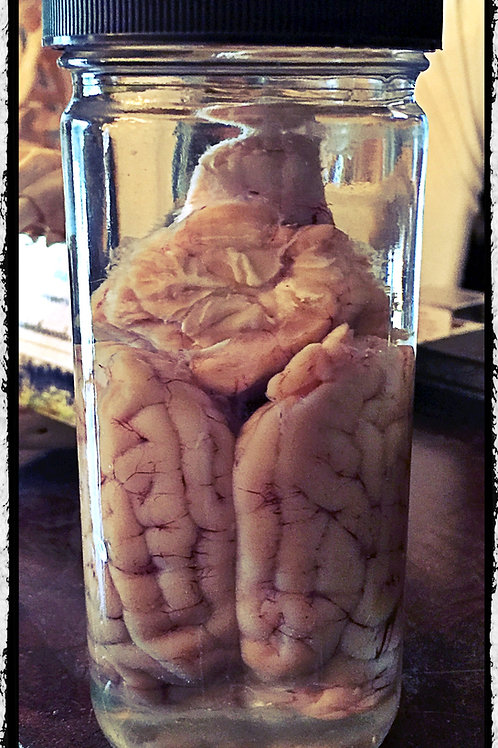 Preserved Sheep Brain in jar. Wet Specimen