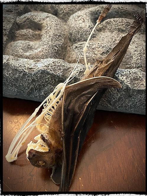 Half Skeleton Bat - Cynopterus brachyotis