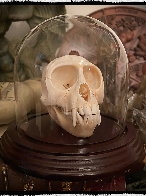 Monkey Skull #1 in a glass display dome