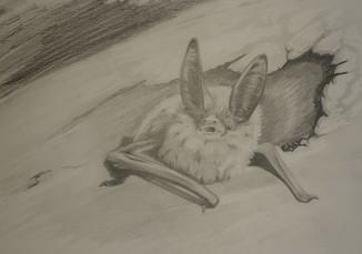 Townsend's big eared Bat