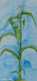 Corn in Late Autumn watercolor