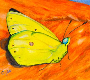 ws Sulphur Butterfly