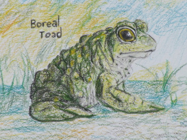 Frogs and Snails, DtD, Boreal Toad.JPG