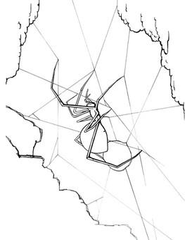 CAVE SPIDER  Arcuphantes cavaticus
