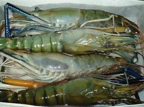 Fresh Water 2/4 H/O Shrimp Head-On, Jumbo