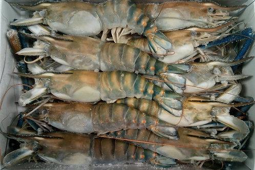 Fresh Water 4/6 H/O Shrimp Head-On Large