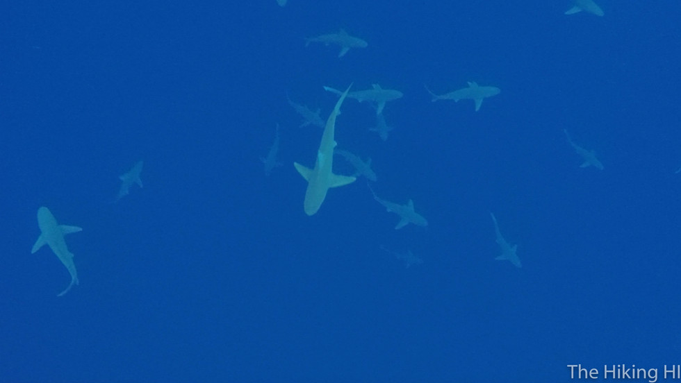 NORTH SHORE CAGELESS SHARK SNORKEL