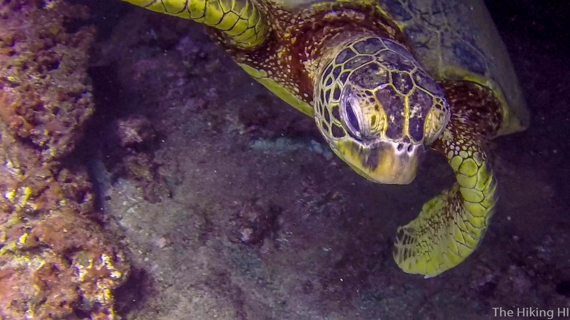 Hawaii Honu