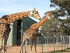 800px-Giraffa_camelopardalis_-Taronga_We