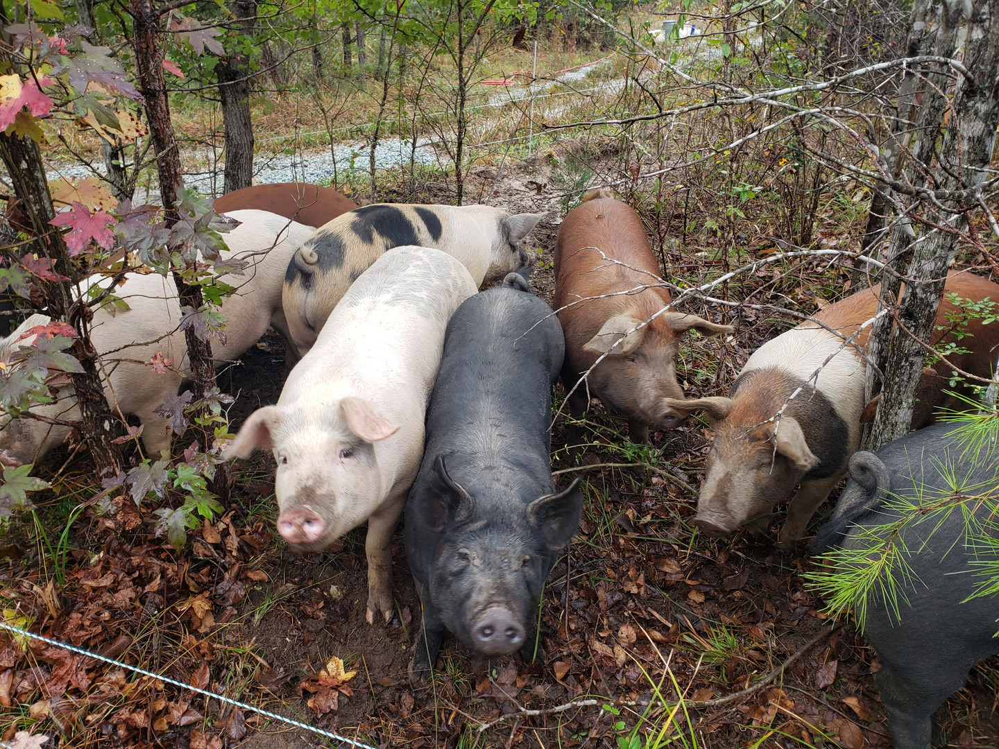 Pigs in the woods!