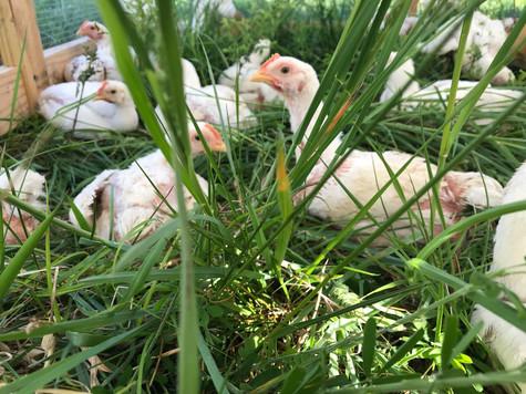 Chicken in the Grass