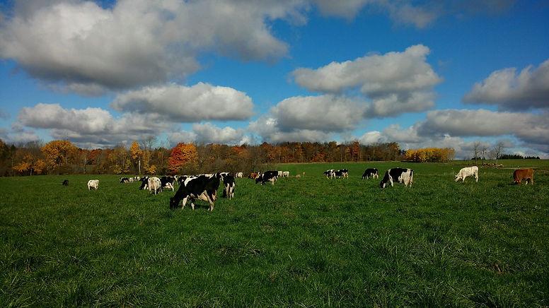 cows on pasture.jpeg