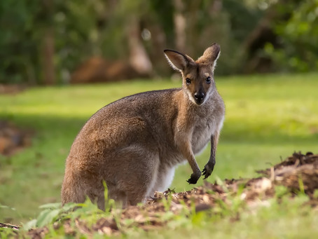 Local animals of Australia
