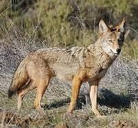 coyote.jfif