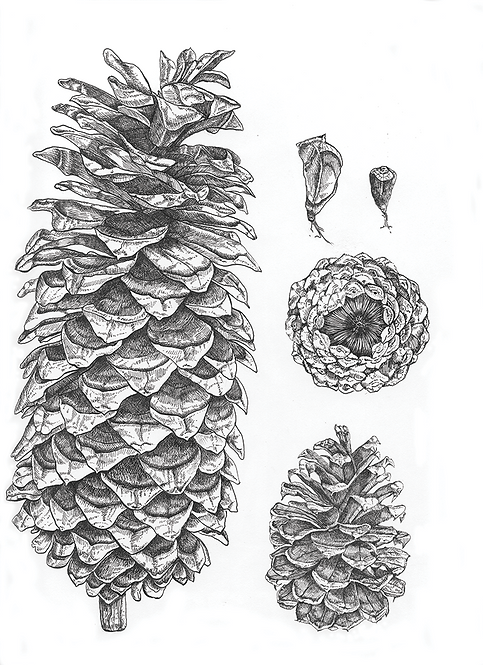 Pine Cone - Print