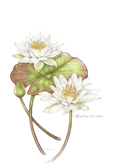 Water Lily - Print