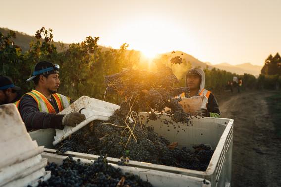 Heitz Cellar Harvest at Trailside Vineya