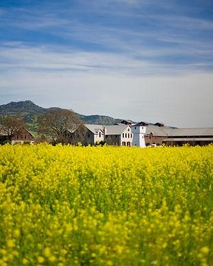 silver-oak-mustard.jpg