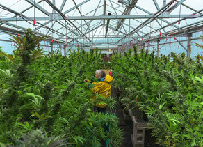 Lack of Regulations Holding up Hemp Industry
