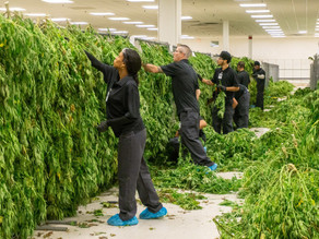 Economic Benefits of Legal Cannabis in New York
