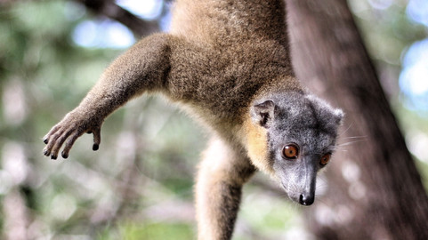 2015 Madagascar Brown Lemur