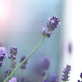 Clipart - Lavender.jpg