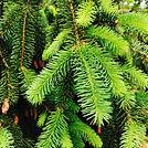 _fir tree.jpg