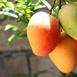 clipart - mango.jpg