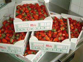 館山の苺は種類も豊富です