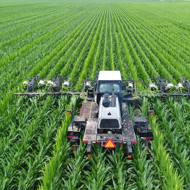 Mitzner Farms Detasseling Seed Corn