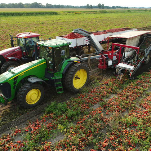 Tomato Harvest 2018