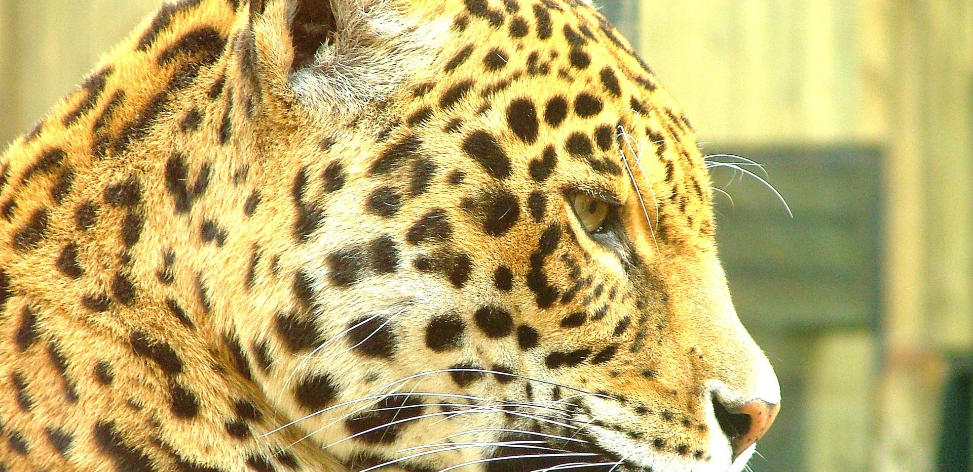 leopard-profile-portrait-1400889_edited.