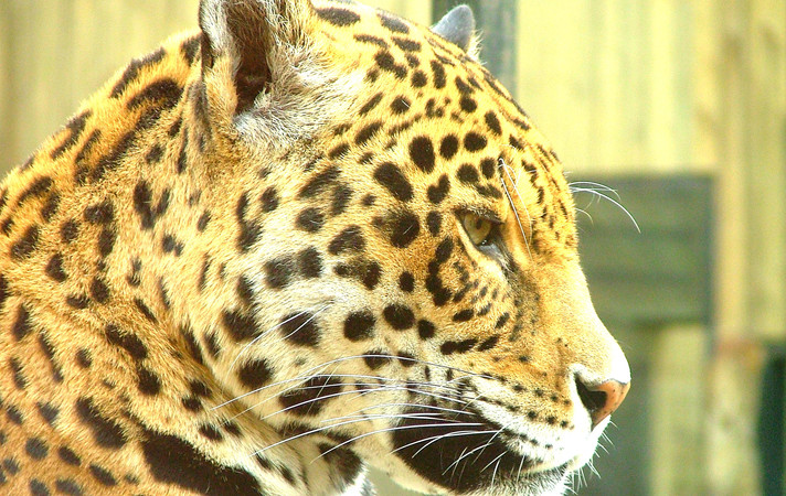 leopard-profile-portrait-1400889_edited。
