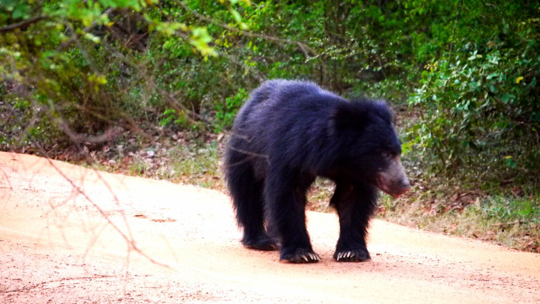 Bear in Sri Lanka